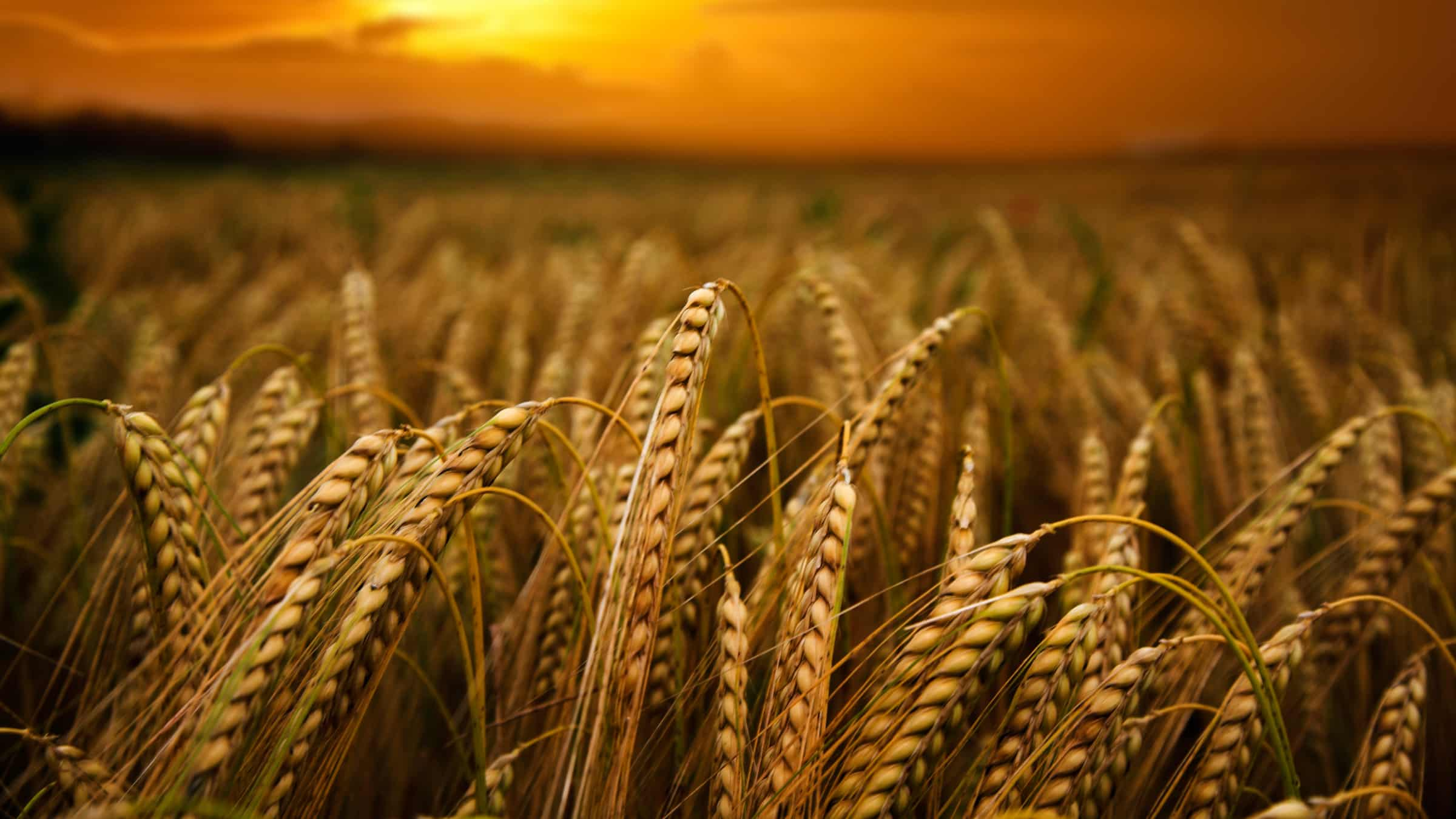 wheat-Sadaqa-symbol